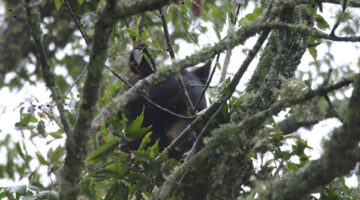 Black Bears Run Wild In Cades Cove – Gatlinburg