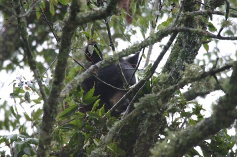 Black-Bear-Up-In-The-Tree