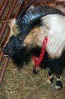 Fainting Goats At The Lewisburg Fainting Goat Festival