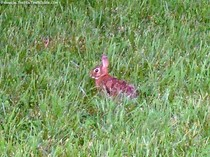 franklin-tn-bunny-rabbit.jpg