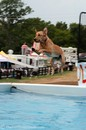 golden-dog-jumping-in-pool.jpg
